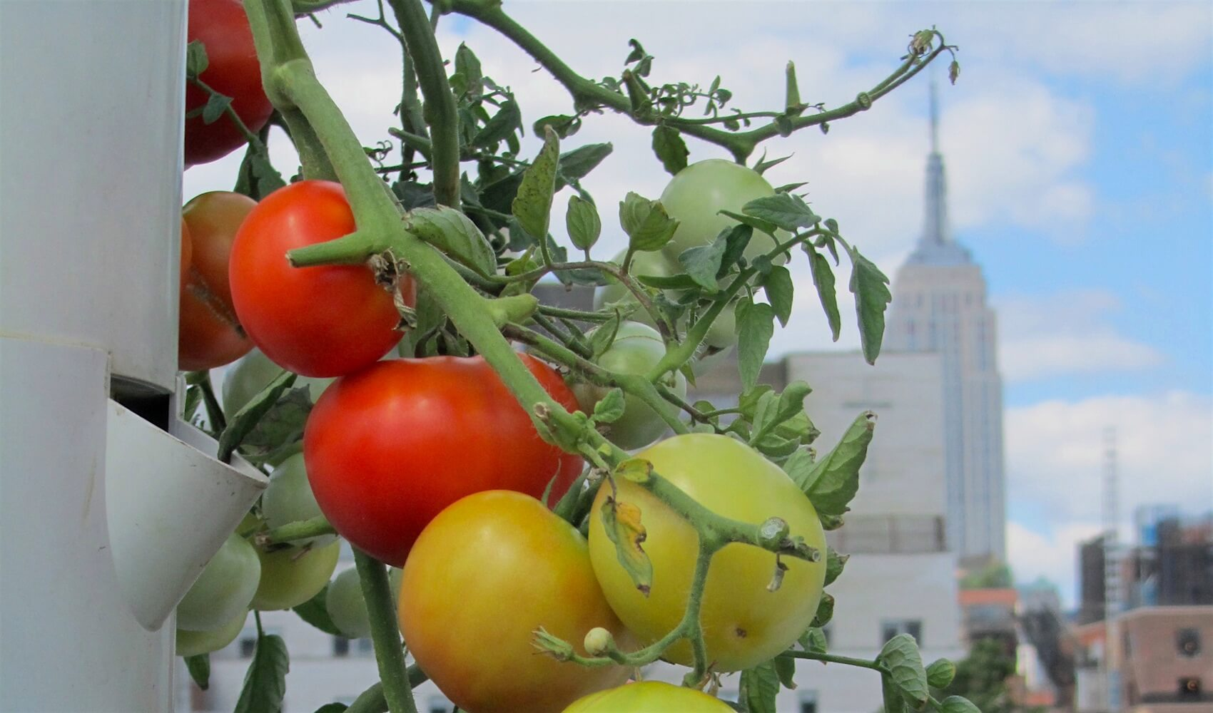 How to Make Your Tomatoes (and Other Produce) Ripen Faster